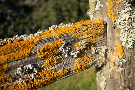 fencepost: Thick colorful lichens on a wooden fencepost, with horizontal rail seen extending diagonally from the side. The lichens are green and orange in the brilliant afternoon sun.