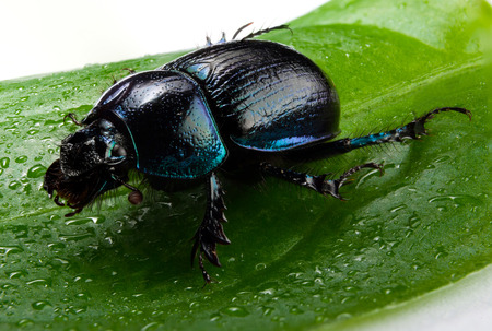 geotrupidae: Violet or blue forest dung beetle on green leaf Stock Photo