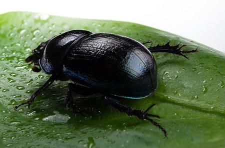 Violet or blue forest dung beetle on green leaf Stock Photo