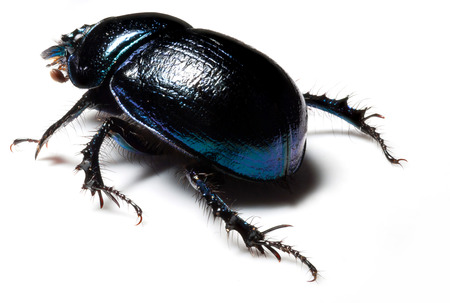 geotrupidae: Violet or blue forest dung beetle on white background Stock Photo