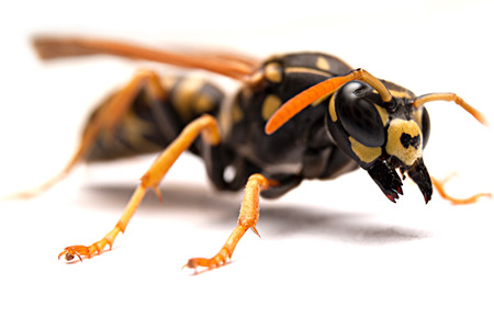 Attack single wasp with open mandibles on white background