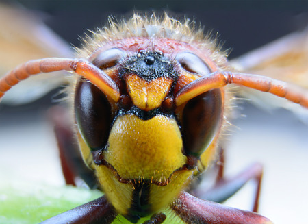 Hornet or wasp on green leaf macro photography
