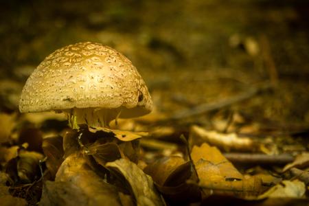 Brown mushroom teastool in dark forest with dry leaf