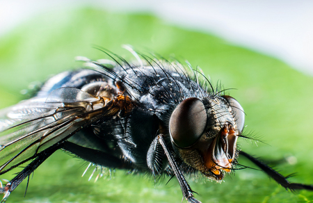 Detail of head of bluebottle fly  macro photography Stock Photo