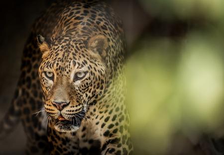 고양이 포식 자 스리랑카 표범 (Panthera pardus kotiya). 야생 동물입니다. 스톡 콘텐츠