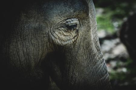 deatil: Deatil Eye of Asiatic elephant (Elephas maximus). Wildlife animal.