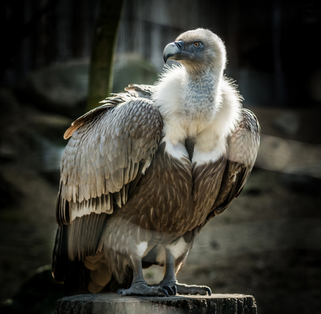 scavenger: Big bird Griffon vulture  (Gyps fulvus) on tree. Wildlife animal.