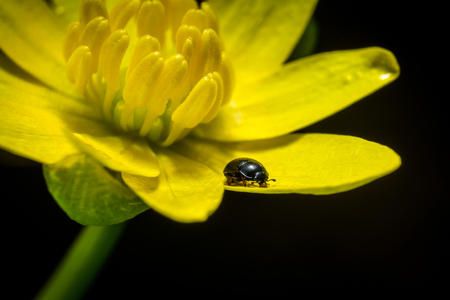 Spring yellow flower Ficaria verna and litlle beatle