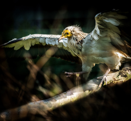 Big Bird Egyptian vulture (Neophron percnopterus) on dark background
