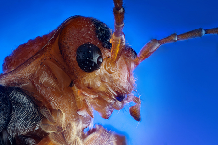 Head of soldier beetle (Cantharis fusca) extreme macro photography Stock Photo