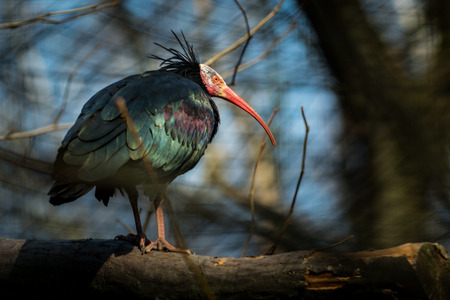 Bird the Northern bald ibis (Geronticus eremita) on tree Stock Photo