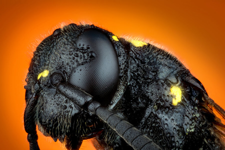 Detail of Head of wasp Trypoxylon species on orange background  micro or extreme macro photography Stock Photo