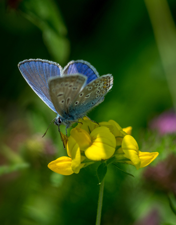 Male of Common blue (Polyommatus icarus) on flower Stock Photo