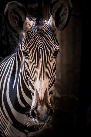 Head of Grévys zebra (Equus grevyi). Wildlife animal.