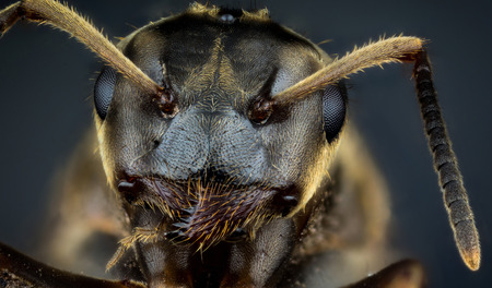 formica: Detail of head of ant on dark background macro or micro photography