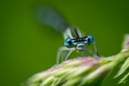 Blue Dragonfly on grass on meadow macro photography