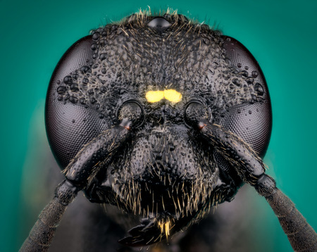 Detail of Head of wasp Trypoxylon species on green background  micro or extreme macro photography