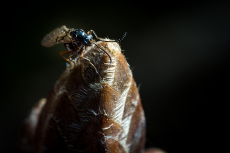 Litlle black Fly on bud macro photo