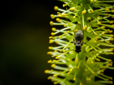 Litlle black Fly on yellow flower macro photo