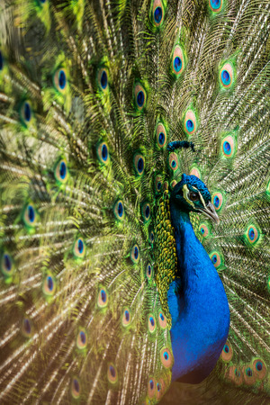 common blue: Very nice and colorful Male of Indian peafowl (Pavo cristatus). Wildlife animal.