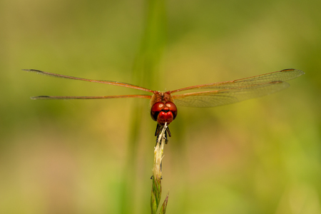 Red Dragonfly on grass on meadow macro photography