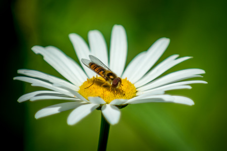 Syrphidae wasp or the fly on flower macro photography