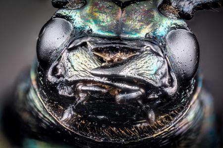 Head of ground beetle (Carabus rutilans) micro or extreme macro photography