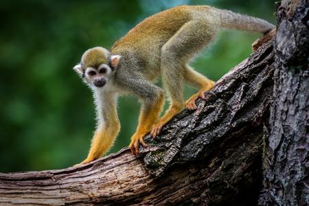 Wildlife animal common squirrel monkey (Saimiri sciureus)  Stock Photo