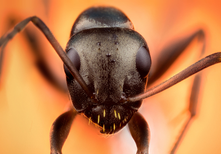 Detail of head of ant on orange background macro or micro photography Stock Photo