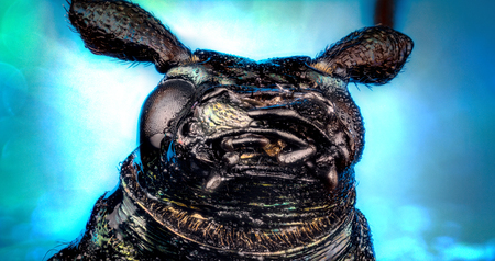 Head of ground beetle (Carabus rutilans) micro or extreme macro photography