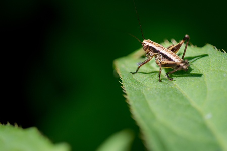 Little brown  Ensifera on grass macro photography