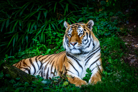 Resting Amur tiger (Panthera tigris altaica) in grass Stock Photo