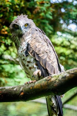 profile: short-toed snake eagle (Circaetus gallicus) sitting on tree