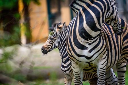 young and female Chapmans zebra (Equus quagga chapmani)wild life animal