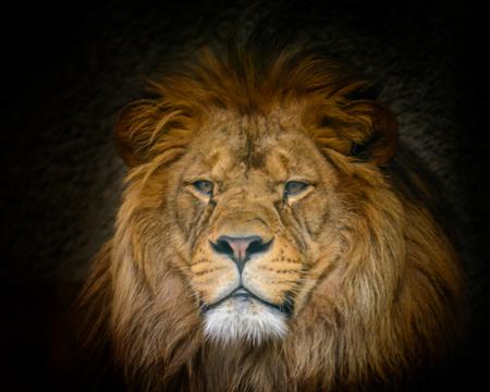 Male  of Barbery lion (Panthera leo leo) wild life animal