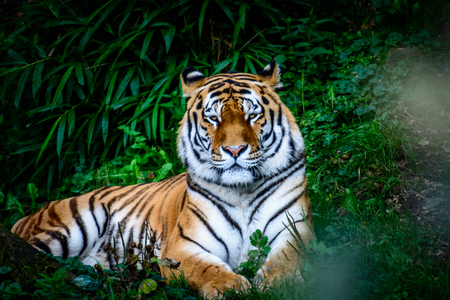Resting Amur tiger (Panthera tigris altaica) in grass Stock Photo