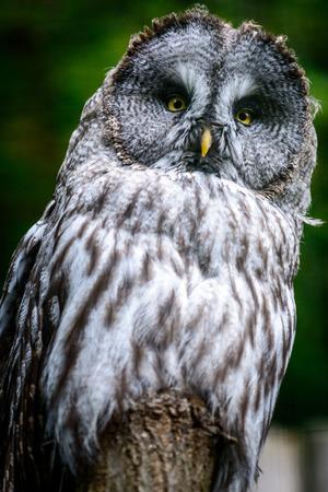 Bird Ural owl (Strix uralensis) on tree Stock Photo