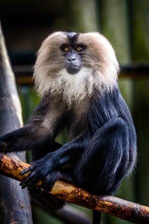 Male lion-tailed macaque (Macaca silenus) sitting on tree