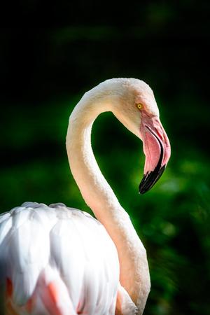 Bird American flamingo (Phoenicopterus ruber) in sunny day