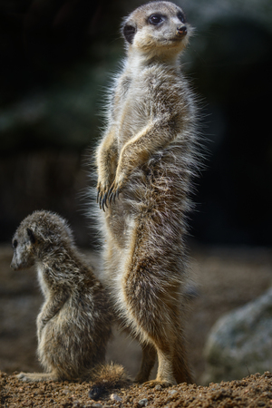 Nice Sitting meerkat (Suricata suricatta) looking around