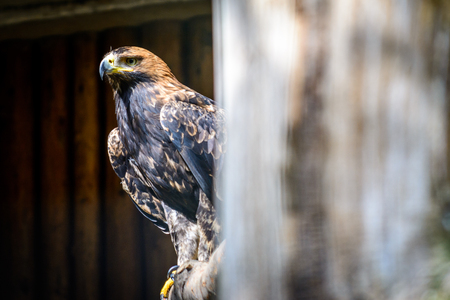 Golden Eagle (Aquila chrysaetos) sitting on tree