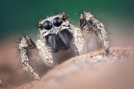 Jumping spider on green background extreme macro