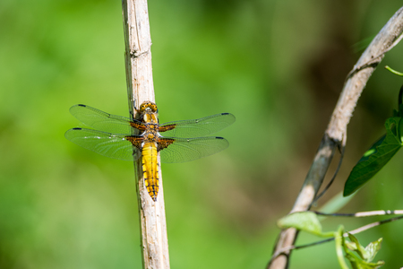 yellow Dragonfly on grass on meadow macro photography Stock Photo
