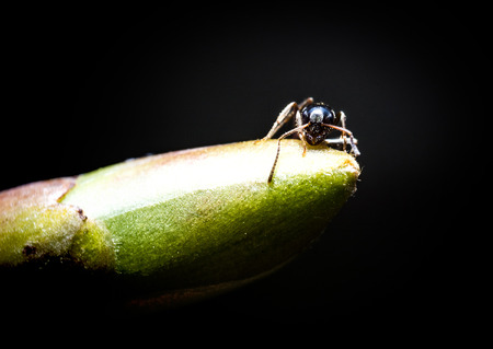 Forest little brown Ant on green bud extreme macro photography