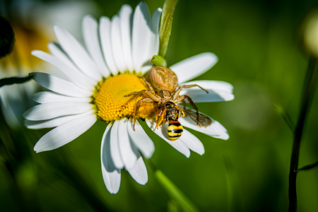 Spider on daisy hunting little wasp macro 写真素材