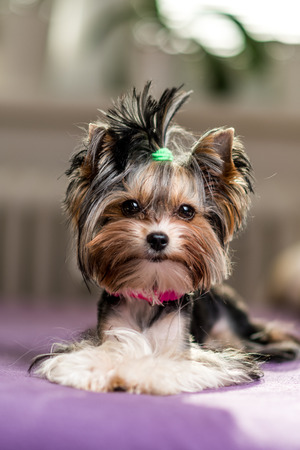 cute Biewer Yorkshire Terrier sitting or resting on a bed. Dogs portrait Imagens
