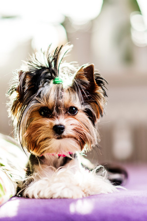 cute Biewer Yorkshire Terrier sitting or resting on a bed. Dogs portrait Banque d'images