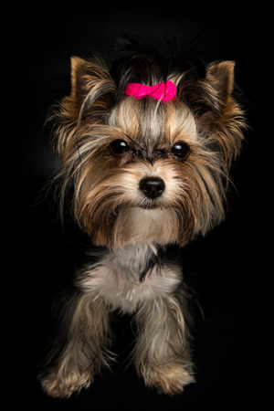 cute Biewer Yorkshire Terrier with pink bow on black background. Dogs portrait