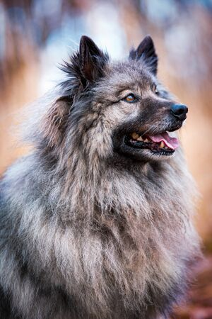 Portrait of the dog Keeshond or Wolfspitz in outdoor Stockfoto