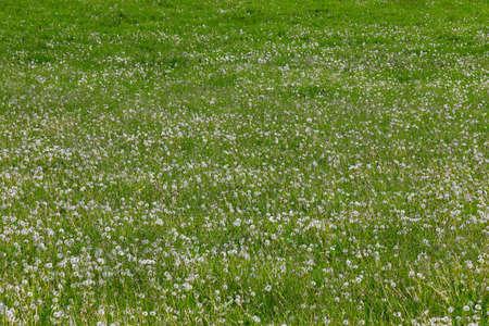 Pasture with dandelions in the Sauerland 版權商用圖片